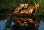 Red Fox Family (Vulpes vulpes) vixen and three kits, Minnesota.  A group of foxes is also known as a leash, skulk, earth, troop, or lead of foxes.  Widespread distribution across the entire northern hemisphere.  Introduced to Australia, New Zealand, and the Falkland Islands.