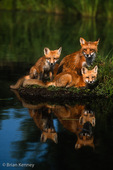 Red Fox Family (Vulpes vulpes) vixen and kits, Minnesota.  A group of foxes is also known as a leash, skulk, earth, troop, or lead of foxes.  Widespread distribution across the entire northern hemisphere.  Introduced to Australia, New Zealand, and the Falkland Islands.