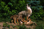 Coyote / Prairie Wolf / Brush Wolf / American Jackal (Canis latrans) Mom howls while pups play-fight, Minnesota.  Species ranges from Canada south to Panama.  State Animal of South Dakota.