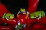 Red-Eyed Treefrog / Red-Eyed Leaf Frog (Agalychnis callidryas) on bromeliad.  Species ranges from Mexico to Panama.  CITES II.