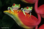 Two Red-Eyed Leaf Frogs / Red-Eyed Tree Frogs (Agalychnis callidryas) on Heliconia, Costa Rica.  Species ranges from Mexico to Panama.  CITES II