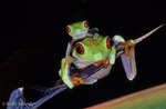 Red-Eyed Leaf Frogs / Red-Eyed Tree Frogs (Agalychnis callidryas) Mexico to Panama.  CITES II