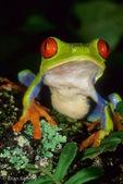 Red-Eyed Leaf Frog / Red-Eyed Tree Frog (Agalychnis callidryas) Mexico to Panama.  CITES II