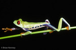 Red-Eyed Treefrog / Red-Eyed Leaf Frog (Agalychnis callidryas) walking.  Species ranges from Mexico to Panama.  CITES II.