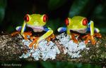 Red-Eyed Treefrog / Red-Eyed Leaf Frog (Agalychnis callidryas) Mexico to Panama.  CITES II.
