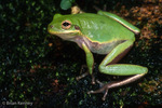 Squirrel Treefrog (Hyla squirella) can rapidly change color between green and brown, Florida