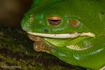 White-Lipped Tree Frog / Giant Tree Frog (Litoria infrafrenata) is the world's largest treefrog.  Species has a widespread distribution in Australasia (Australia; Indonesia; Papua New Guinea; Solomon Islands; Timor-Leste)