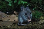 Deer Mouse cleaning tail