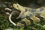Timber Rattlesnake eating rat