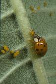 Ladybug Beetle eating aphid