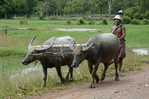 Water Buffalo team for plowing rice paddies. Siem Reap, Cambodia