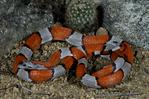 Gray-Banded Kingsnake.Lampropeltis mexicana alterna