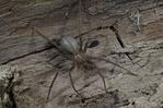 Brown Recluse.Loxosceles reclusa.. most venomous US spider