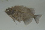 fish fossil, Phareodus
