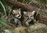 Mountain Lion cubs (Felis concolor)