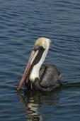 Brown Pelican  (Pelecanus accidentalis)