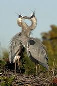 Great Blue Heron pair greeting  (Ardea herodias)