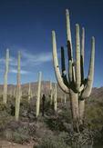 Saguaro Cactus (Cereus giganteus)