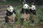 Giant Pandas eating bamboo,  (Ailuropoda melanoleuca)  Chengdu Giant Panda Research Facility  Chengdu, China