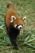 Red Panda  (Ailurus fulgens)  Chengdu, China