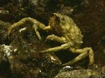 Spider Crab (Libinia emarginata), New Jersey