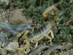 Giant Hairy Scorpion (Hadruros arizonensis)   Tucsan, Arizona