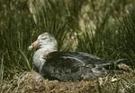 Southern Giant Petrel nesting, (Marcronectes giganteus) South Georgia Island, South Atlantic Ocean