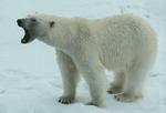 Polar Bear (Ursus arctos) aggression, Svalbard