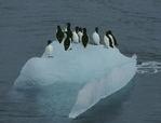 Thick-billed Murres  (Uria lomvia) on iceberg, Svalbard