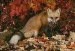 Red Fox in Fall  (Vulpes fulva), New Jersey
