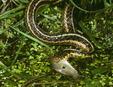 Eastern Garter Snake (Thamnophis sirtalis sirtalis) eating minnow, New Jersey