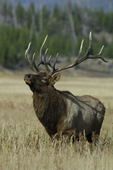 Elk, bull  (Cervus elaphus) 