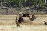 Elk mating  (Cervus elaphus)