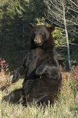 Black Bear sitting (Ursus americanus)   Montana