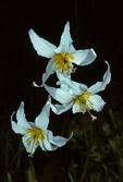 White Avalanche Lily (Erythronium montanum), Washington