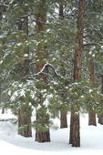 Pondersoa forest in snow