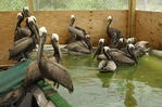 cleaned pelicans awaiting release, Louisiana