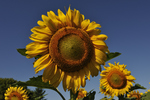 sunflower  (Helianthus annus), Ringoes, NJ