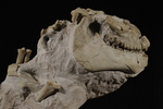 mammal fossil, Oreodont (Mericoidodon culbertsoni), Oligocene Epoch, Brule Formation, Badlands, SD