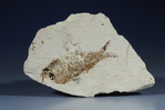Shale, fossil fish, Warfield Springs Quarry, Kemmerer, Wyoming, oil shale