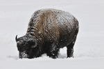 Bison in snow, Yellowstone, WY