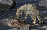 Coyote scavenging elk carcass, Yellowstone