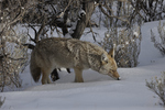 Coyote in snow, Yellowstone
