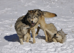 wolves (Canis lupus) showing submission