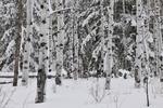 aspens in snow, Grand Tetons, WY
