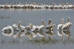 White Pelicans (Pelecanus onocrotalus), Lake Nakuru, Kenya