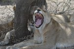 Lion yawning (Panthera leo), Serengeti Plains, TZ