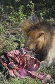 Lion with Wildebeest kill, Masai Mara, Kenya