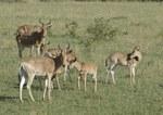 Coke's Hartebeest (Alcelphus buselaphus cokii), Serengeti Plains, TZ