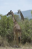 Masai Giraffe (Giraffe caleopardis t.), Serengeti Plains, TZ